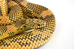 Atrial (Julian Rossi) Tags: reptile snake snakes herp reptiles herps blotched kingsnake lampropeltisgetula goini meansi apalachicolalowlandskingsnake