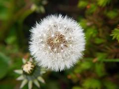 Close up using a +10 Macro lens on 14-140 mm lens (penlea1954) Tags: flower macro up close head