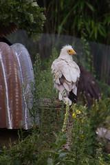 20130808#151 - Egyptische aasgier.jpg (rrvo) Tags: zoo belgi planckendael vogel dierenpark gier 2013 aasgier egyptische dierenparkplanckendaelvogelaasgieregyptische2013belgigierzoo