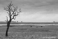 Buffalo Landscape (chrispenfold) Tags: africa park animal river riverside wildlife national botswana chobe afrique