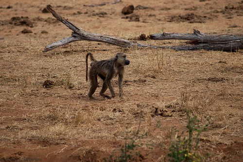 """Tsavo Est (99 di 265) • <a style=""""font-size:0.8em;"""" href=""""http://www.flickr.com/photos/121308622@N02/13994753145/"""" target=""""_blank"""">View on Flickr</a>"""