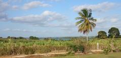 Paysage de mangrove  Dalciat (Livith Muse) Tags: mangrove paysage arbre guadeloupe glp lamentin