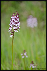 Orchide sauvage_Orchis Purpura.jpg (risla) Tags: fleur nikon orchide sauvage orchis d7000 purpura