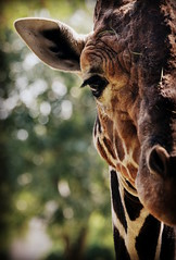 (Flavia Foresta) Tags: animals zoo tiere bokeh giraffe zooanimals zootiere