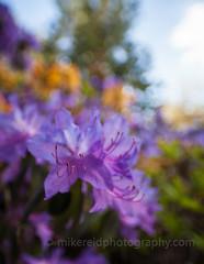 IMG_3564 (www.mikereidphotography.com) Tags: flowers flower floral zeiss bokeh rhododendron azalea