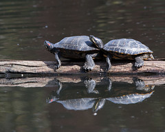 Turtles at Beacon Hill Park (Stuart MacNeil) Tags: two canada water pond bc britishcolumbia victoria turtles dual reptiles beaconhillpark