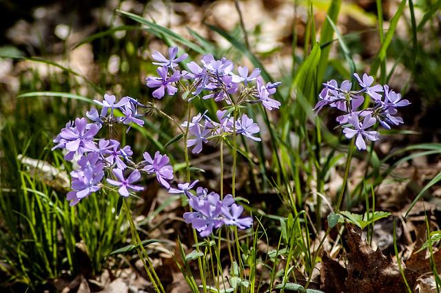 2014.04.26_versaillesVersailles State Park - Wild Blue Pholox - April 26, 2014state-park_135_crop