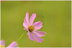 Cosmos in Winter Garden (pallab seth) Tags: pink winter india flower macro photo nikon orissa cosmos d7000 tamronspaf70300mmf456divcusdlens