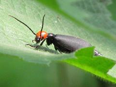 Epicauta hirticornis/ (Liuzhou, Guangxi/) 5899 (Petr Novk ()) Tags: china animal insect asia beetle asie  brouk guangxi liuzhou coleoptera    hmyz  meloidae blisterbeetle    epicauta brouci na epicautahirticornis
