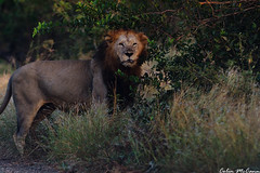 Lion in the Morning (C McCann) Tags: africa park camp animals southafrica wildlife south lion may national lions rest sa kruger 2014 crocodilebridge afrike