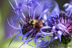 Zombie Bees? (Warp Factor) Tags: flower spring zombie bees failure bee bloom dying hive parasite colony knapweed 2014