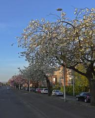 Blooming Renfrew (Bricheno) Tags: trees bus scotland blossom escocia szkocja renfrew schottland scozia cosse  esccia   bricheno scoia