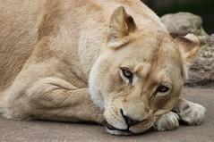 Female White Lion (clairep46) Tags: animal female canon zoo lion sleepy bigcat tired lioness whitelion 500d broxbourne paradisewildlifepark flickrbigcats