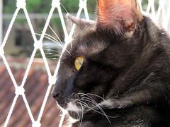 Eustquio queria estar l fora... (Mrcio Vincius Pinheiro) Tags: animal cat feline pussy domestic gato felino puss pussycat domesticcat domstico feliscatus gatodomstico eustquio