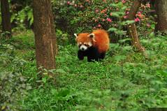 Panda czerwona Firefox