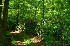 Wezep 'tVinkennest (JaapCom) Tags: flowers trees flower netherlands dutch fleurs landscape four bomen nikon seasons natural natuur rhododendron bos lente landschaft paysbas landed veluwe niederlande gelderland rhododendrons hollande naturel landgoed jaargetijden wezep d5100 vinkennest jaapcom