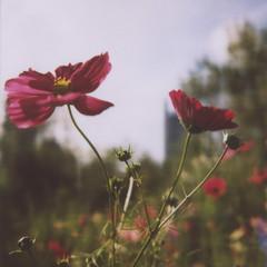 Roosevelt Garden (davebias) Tags: flower color polaroid sx70 600 polaroidweek