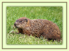 Resting Groundhog (bigbrowneyez) Tags: park wild hairy canada nature beautiful grass animal grande big friend ottawa natura erba groundhog markings marmotta carling andrewhaydonpark peloso ottawaontario groundhogresting