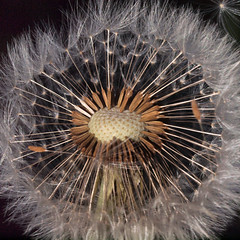 Dandelion 2 (Nick_Fisher) Tags: flower nature blossom seed dandelion fertility fertile fecund fecundity nickfisher