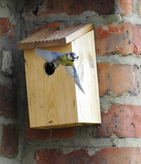Blue Tit - Poo out! Recent from the garden (J*A*L) Tags: garden inflight flyby gardenbird nikond3 nikkor300mmafedf4