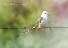 Oklahoma state bird-Scissor-Tail Flycatcher (AKS1020) Tags: bird texture oklahoma nature birding birders scissortailflycatcher oklahomastatebird magicunicornverybest magicunicornmasterpiece nikond7100 anedasmith