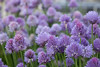 Chives Scenery(차이브 풍경) (Johnnie Shene Photography(Thanks, 2Million+ Views)) Tags: flowers blue plants plant flower colour macro nature horizontal canon lens landscape outdoors photography eos rebel living scenery kiss purple image outdoor wildlife south 11 korea images 28 tamron 90mm chives 90 f28 chive 풍경 t3i x5 organism 꽃 goyang 봄 fragility 600d 봄꽃 fragilty 차이브