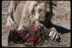 Snack Time (becklectic) Tags: africa 2000 lion zimbabwe antelopepark augustseptember views100 worldtrekker 1082k