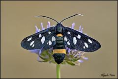 Amata phegea (alfvet) Tags: macro nature nikon ngc butterflies natura npc insetti farfalle falene sigma150 parcodelticino d5100