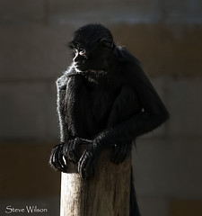 Sitting in the Sunshine (Steve Wilson - over 8 million views Thanks !!) Tags: uk portrait black southamerica nature animal mammal zoo monkey amazon nikon rainforest colombia cheshire colombian chester tropical d200 primate spidermonkey upton chesterzoo nikond200 caughall