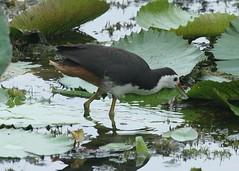 White-breasted Waterhen (amaurornis phoenicurus) (mrm27) Tags: singapore amaurornis whitebreastedwaterhen amaurornisphoenicurus waterhen sataybythesea