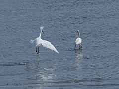 Snowy Egret mating pursuit (Singer Island Images) Tags: florida singerisland snowyegret lowcontrast infocus mediumquality singerislandimages thomasaccardi