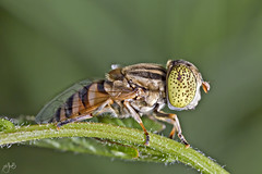 IMG_5380 (Jamil-Akhtar) Tags: pakistan macro insect hoverfly islamabad canon6d canonmpe65mmf28