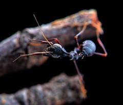 Phyllocrania paradoxa, Ghost Mantis nymphs, L1, ~4mm (_papilio) Tags: macro canon mantis ghost invertebrate canonmpe65mm papilio mantid arthropod 6d paradoxa ghostmantis phyllocrania