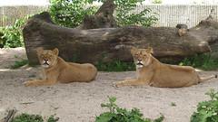 Lions, 1