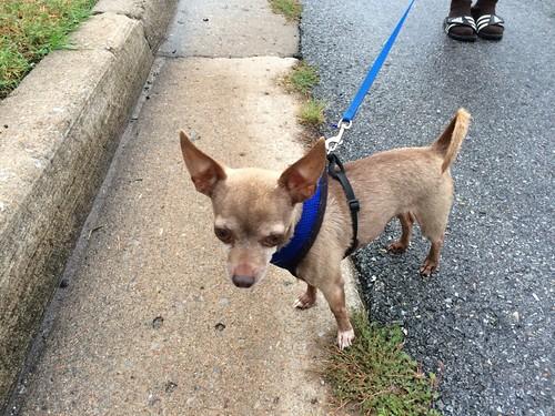 Walkin the Chihuahua