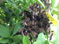 What remains of a swarm of honey bees