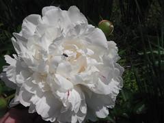 ** La pivoine...et l'intruse...** (Impatience_1) Tags: flower fleur insect peony flea insecte mouche pivoine coth fantasticnature saveearth 100commentgroup alittlebeauty coth5 ruby10 ruby15 ruby20 jardindanielasguin