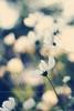 Cosmokeh. (Maria Dattola) Tags: italy copyright flower nature fleur canon eos italia bokeh 14 © natura reggiocalabria fiore calabria cosmos 2014 50mmlens pallozzi 60d mariadattola cosmosbipinnatuspurity