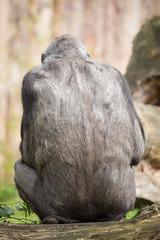 2014-06-28-10h14m04.BL7R3025 (A.J. Haverkamp) Tags: germany zoo gorilla muenster mnster munster dierentuin changa westelijkelaaglandgorilla canonef100400mmf4556lisusmlens pobfrankfurtgermany dob09061996 httpwwwallwetterzoode changamadi