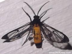 Clearwing Moth - Family Sesiidae - NMW 25 July 2014-352 (Dis da fi we) Tags: belize clearwingmoth moth mothweek nationalmothweek nature puntagorda sesiidae toledo wildlife cottages hickatee