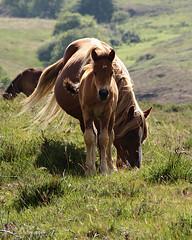 Wild horses (SofiPilgrim) Tags: wild horses espaa verde del puerto caballos photography casa sofia asturias mami s sofi tineo pilgrim foal salvajes
