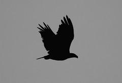 predawn eagle fly by (jimbobphoto) Tags: bird fly flight raptor
