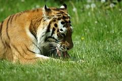 Amur Tiger (Annette Rumbelow) Tags: park camera sony tiger safari wilson longleat amur rumbelow a550 wiltshirenette