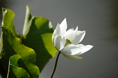 Lotus (ddsnet) Tags: plants lotus sony taiwan 99 aquatic  taoyuan aquaticplants slt               singlelenstranslucent 99v