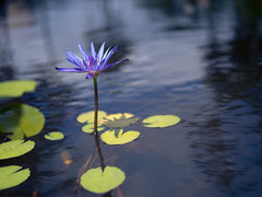 coolin' out (ajd808) Tags: flower hawaii waterlily maui