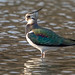 Lapwing (Frank5426) Tags: