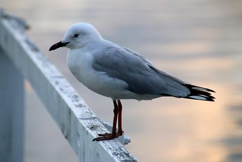 Yamba, seagull IMG_3244
