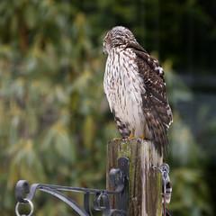 20170211-Birds of Chatham Gardens (ChathamGardens) Tags: capecod chathamgardens coopershawk hawk birds chathamma