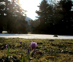Winter and Spring in the same frame! (philos from Athens) Tags: winter spring snow crocus purple parnitha mola mountain picmonkey