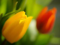Bring back the colors (Karsten Gieselmann) Tags: blumen blüten bokeh dof em5markii farbe frühling gelb grün helios44358mmf20 jahreszeiten microfourthirds natur olympus pflanzen rot schärfentiefe tulpe vintagelens blossom color flower green kgiesel m43 mft nature red seasons spring tulip yellow